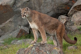 Puma standing watch atop a colorful bolder