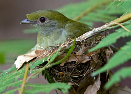 Araripe-Manakin-female-on-nest_Ciro-Albano