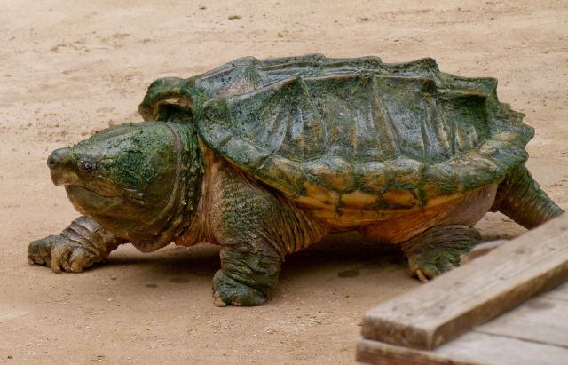 Alligator_snapping_turtle_-_Geierschildkröte_-_Alligatorschildkröte_-_Macrochelys_temminckii_01